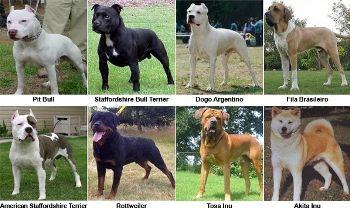 Ley de razas de perros peligrosos http://www.mascotadomestica.com/articulos-sobre-perros/ley-de-razas-de-perros-peligrosos.html
