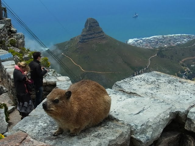 Dassie, or Rock Hyrax, on Table Mountain, Cape Town. Who has seen them before? Their closest relative is ... the elephant!