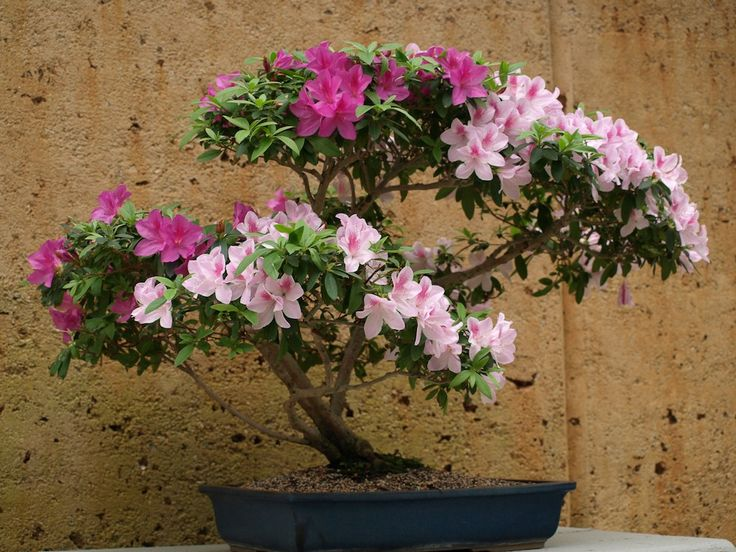 Azaléias (Rhododendron simsii).  http://www.fazfacil.com.br/jardim/azaleia/