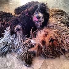 Resultado de imagen de spanish water dog rastadogs