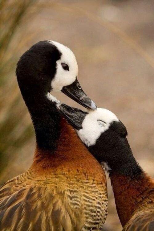 Canada Goose Baby Snow Bunting Larga sección