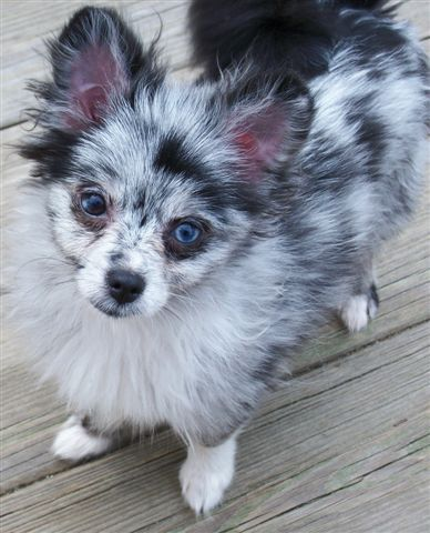 Blue Mereil Pomeranian, I dont like Poms, but this is effin cute!!!