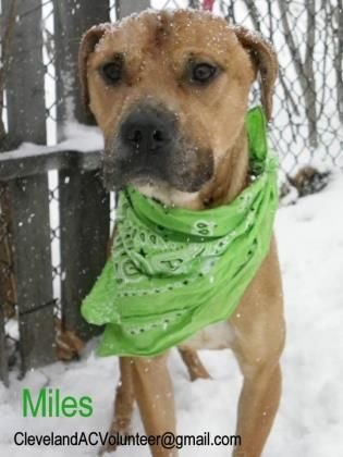 WAITING SINCE 2/6/15 Petango.com – Meet Miles 48, a 4 years 1 month Terrier, Pit Bull / Mix available for adoption in CLEVELAND, OH