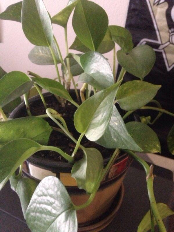 The 25 best ideas about pothos vine on pinterest kitchen plants pothos plant and plants indoor - Indoor plants that require little care ...