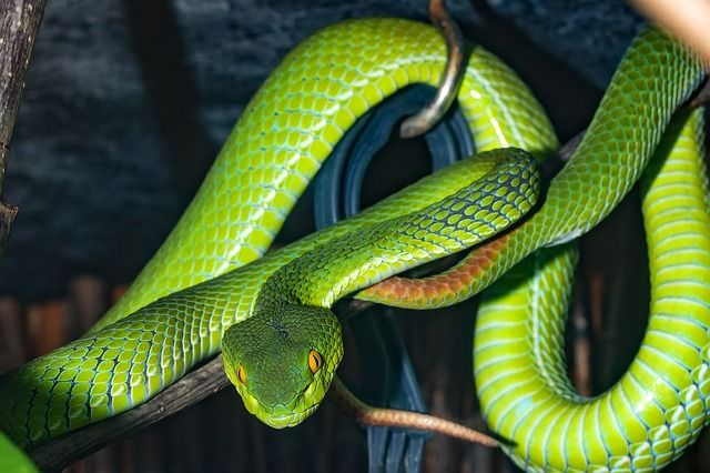 Snake Venomous Snake Green Photo