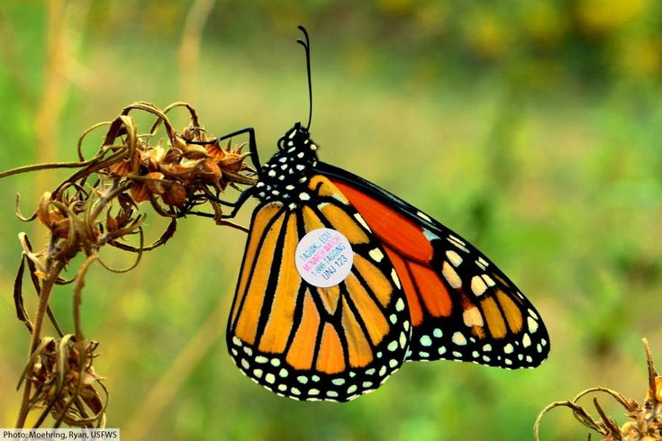 how long to monarch butterflies live