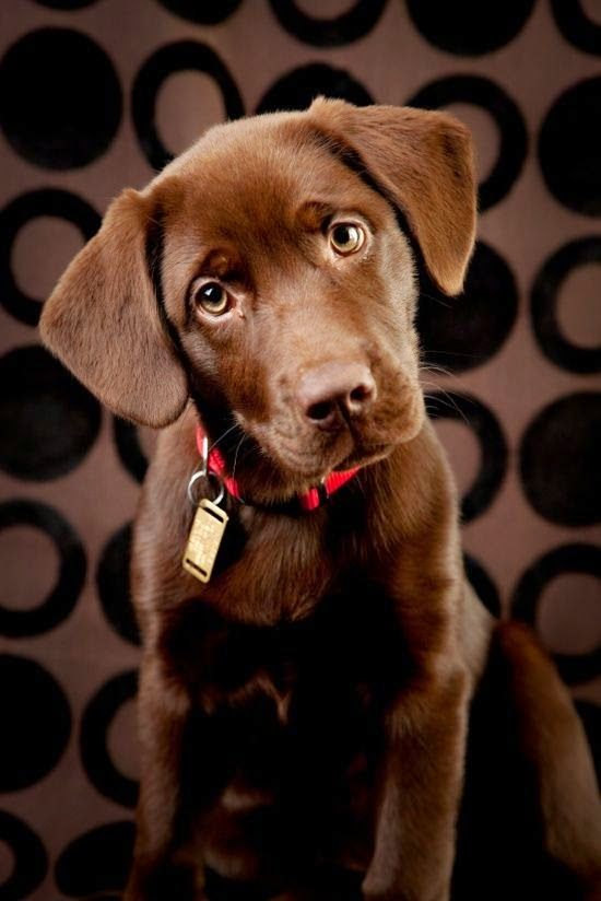 5 Things You should know about your Labrador