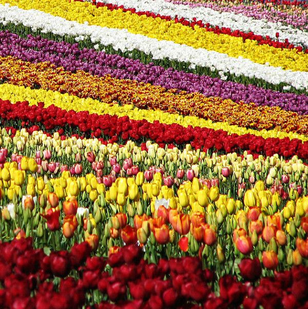 Campo de flores, Table Cape, Tasmania, Australia.  I'd travel all that way just to see those lovely fields of tulips!