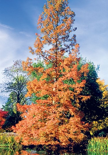 Dawn Redwood tree in Autumn. A deciduous conifer and one of the three surviving species of Redwoods.