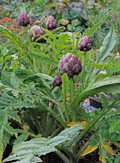 .Artichokes are so beautiful and so yummy fresh from your garden. I love the different colors it turns. Very drought tolerant. They need a lot of space. Maybe even tucked on a little hillside where you look up at it?