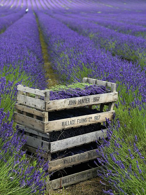 17 miles of lustrous lavender,  Calwell Farm in Hitchin, Hertfordshire, England