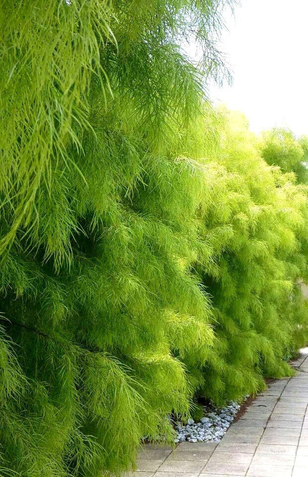 Acacia Cognata 'Lime Magik'