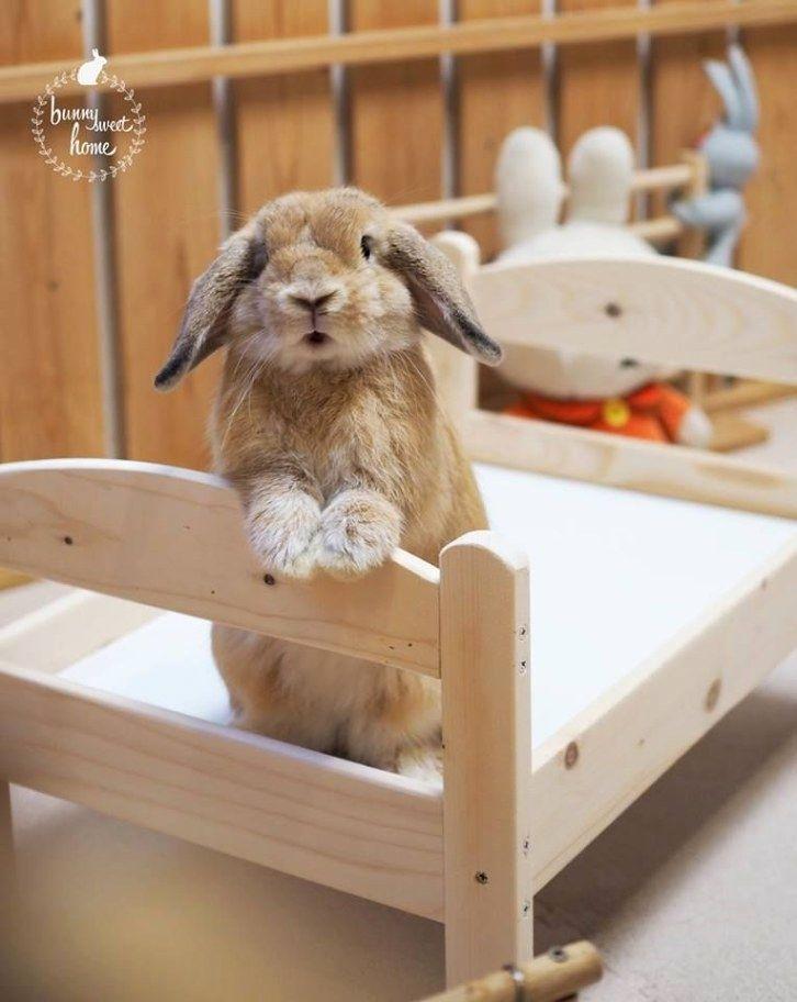 Wonderful Rabbit Pet Rabbit Care Pet Rabbit Rabbit