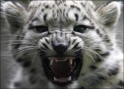 Tigre des neiges                                                                                                                                                      Plus