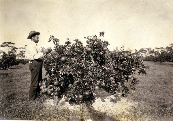 A man looking at a 4-year-old grapefruit tree. | Florida Memory