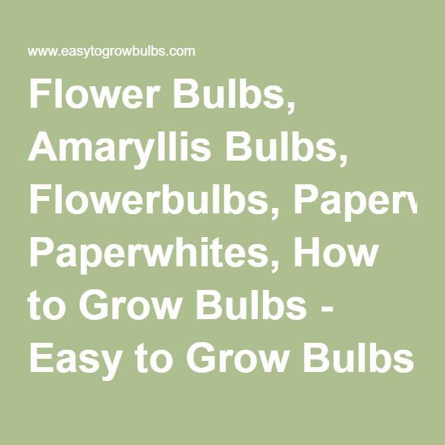 Flower Bulbs, Amaryllis Bulbs, Flowerbulbs, Paperwhites, How to Grow Bulbs - Easy to Grow Bulbs
