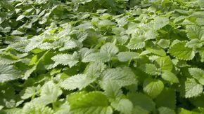 In den Blättern der Melisse sind ätherischen Öle enthalten, die in Tee zur Geltung kommen und das Nervenkostüm beruhigen. Gerb- und Bitterstoffe attackieren zudem Herpes-Viren und schützen die Haut vor neuen Lippenbläschen.