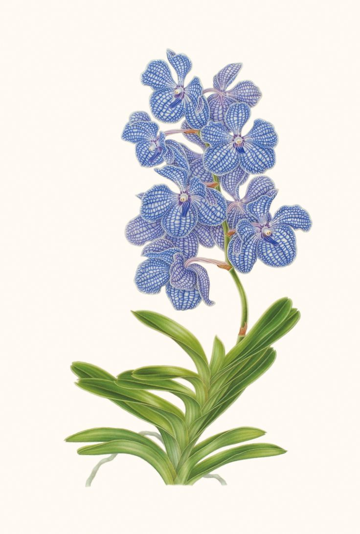 Botanical art botanical drawings contemporary botanical art