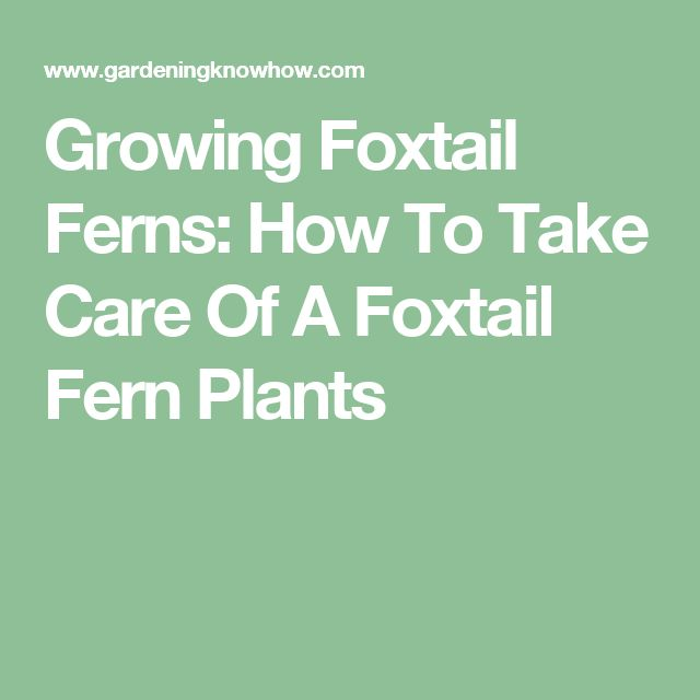 Growing Foxtail Ferns: How To Take Care Of A Foxtail Fern Plants