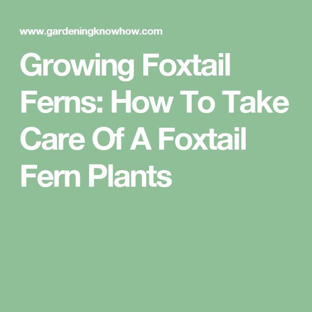the 25 best foxtail fern ideas on pinterest foxtail plant ferns garden and ferns. Black Bedroom Furniture Sets. Home Design Ideas