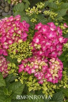 Monrovia's Pink Elf® French Hydrangea details and information. Learn more about Monrovia plants and best practices for best possible plant performance.