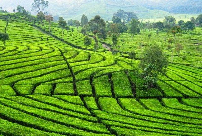 tempat wisata perkebunan teh rancabali bandung