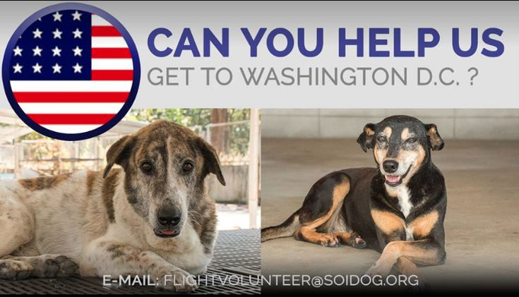 Bassett and Vegas have been saved from the dog meat trade and we now need to get them to their forever homes in Washington D.C. If you are traveling FROM Thailand TO Washington D.C. on BOOKED tickets with Thai Airways, All Nippon Airways (ANA), China Airlines, Qatar, Korean Air, JAL, EVA, Lufthansa or KLM, please EMAIL flightvolunteer@soidog.org for more information. http://www.soidog.org/en/be-a-flight-volunteer