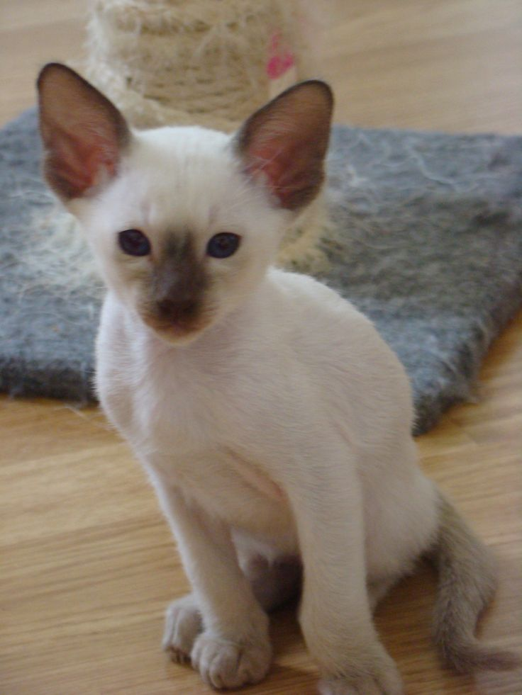 Siamese chocolatepoint kitten Siamese....if you please