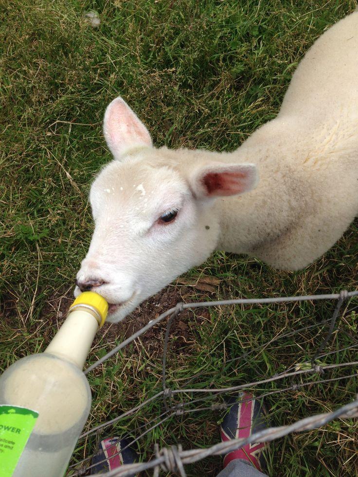 The final pet lamb of Sarah's long shepherding career.