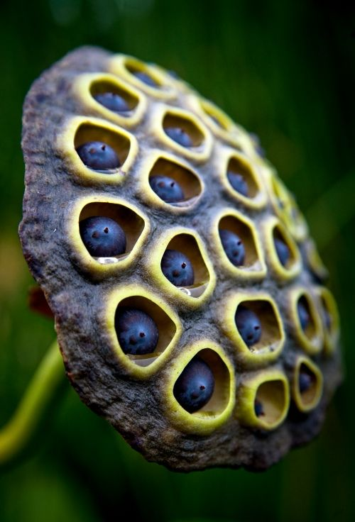 seed pod images - Google Search. These seed pods are one of my most favorite of all nature collectibles/patterns.
