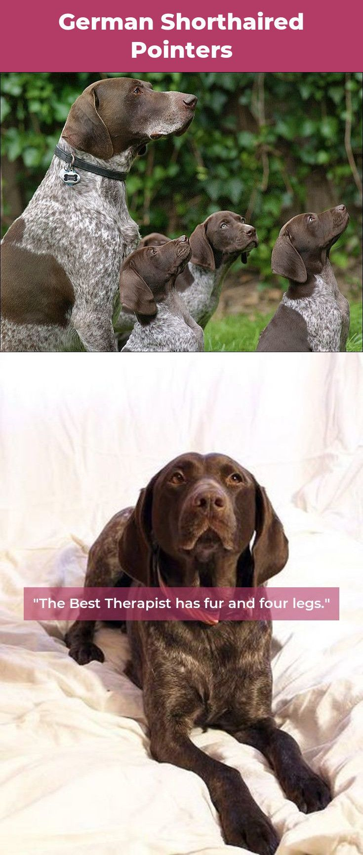 roberthuddlestone German shorthaired pointer, Dogs, Best