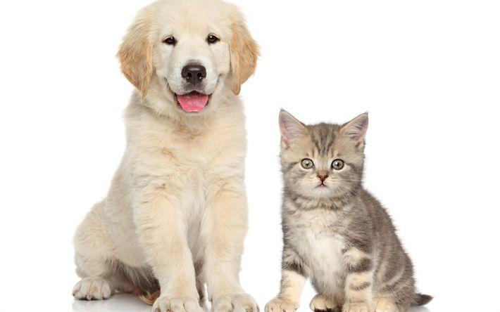 Descargar fondos de pantalla cachorro y gatito, amistad, animales lindos, retriever, perro, gato, blanco retriever cachorro