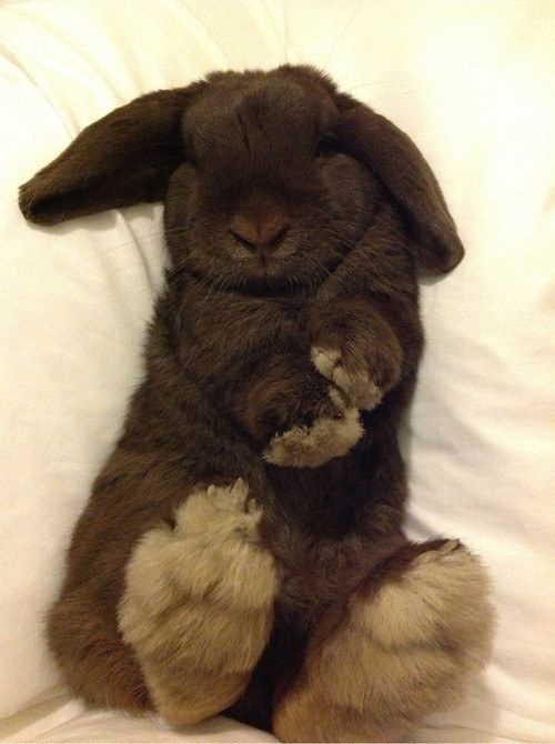This one who naps on his back to avoid future wrinkles. | 23 Bunnies Nappin'