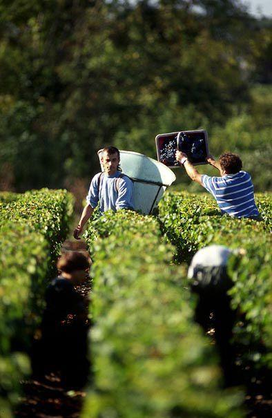 Les #vendanges dans le #Bordelais se font au mois de #septembre ! #vine #vineyard #France #vigne #vignoble