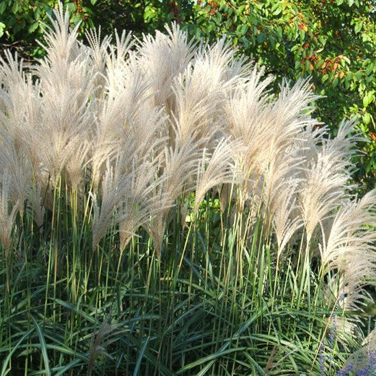 1099 best foliage images on pinterest gardening small for Ornamental grasses with plumes