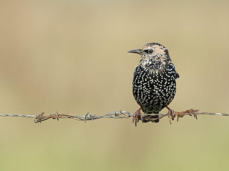 Starling, Gotland 2014 Bird on a wire