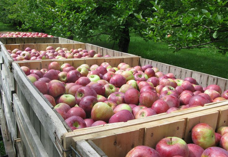 Scott Farm in Dummerston, Vt., grows 100 varieties of apples, including Hubbardston Nonesuch and Cortland, above. You can't perpetuate a variety of apple by planting it from seed: You have to collect cuttings and graft them to root stock.