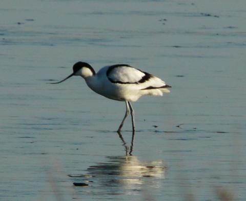 Avocet: welcome back | Nature Notes
