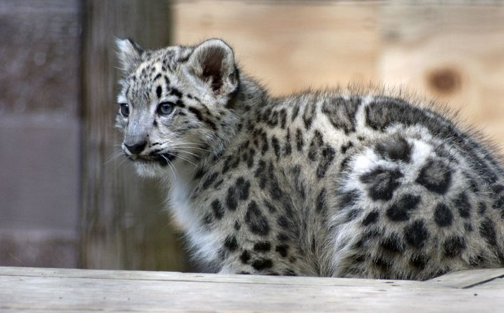 Snow_Leopard_Cub_2_by_aworldofpossibilitie.jpg (900×559)