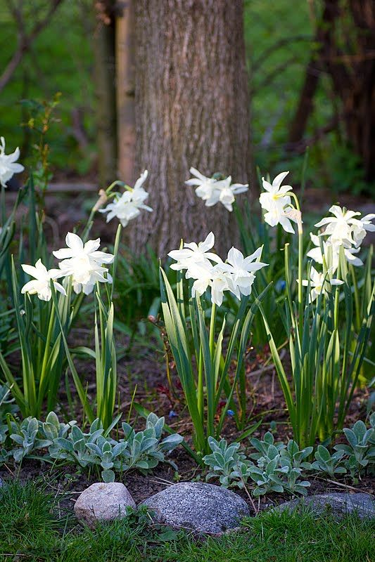 "Plant ""Thalia""(narcissus triandrus) bulbs now for fragrant, early spring flowers that return year after year! Like the mix of narcissus and chicks & hens."