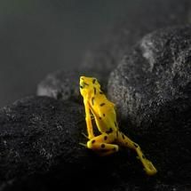 The Panamanian golden frog is almost extinct in the wild. This photo was taken at a zoo in Panama.  This frog has become a symbol for Panamanian wildlife.