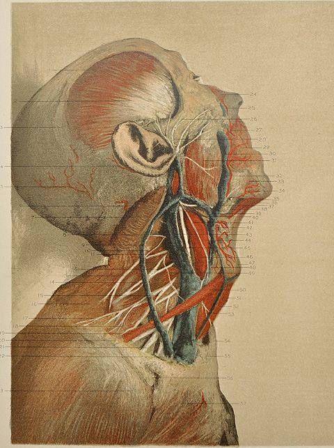 anatomy illustration google found