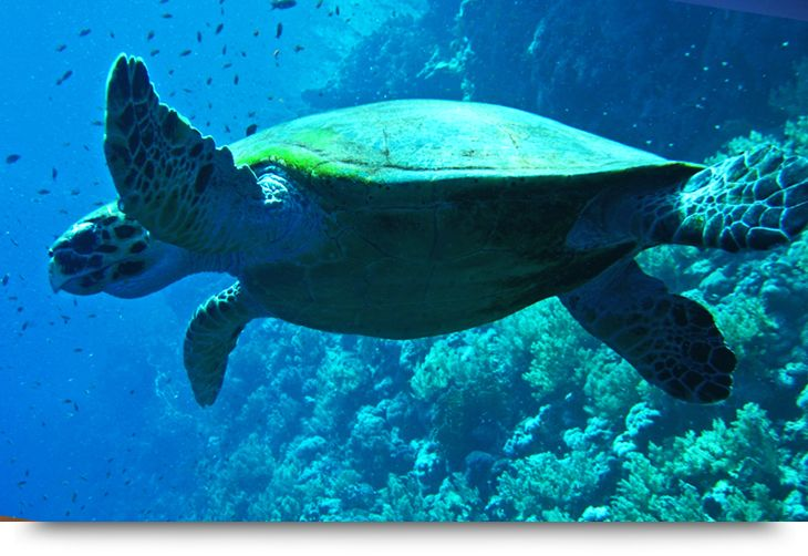 Scuba diving and Snorkeling in Cape Verde Islands Sal. Reefs, ship wrecks, beaches. See sharks turtles stingrays