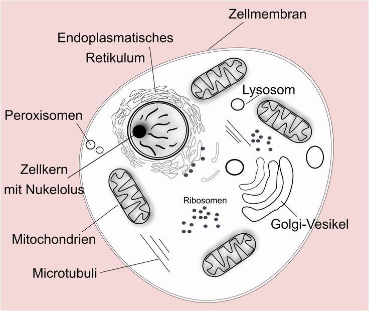 Tierische (eukaryotische) Zelle. Die komplexe Zelle enthält einen Zellkern.
