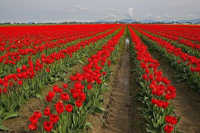 tulipany | flower green | Pinterest