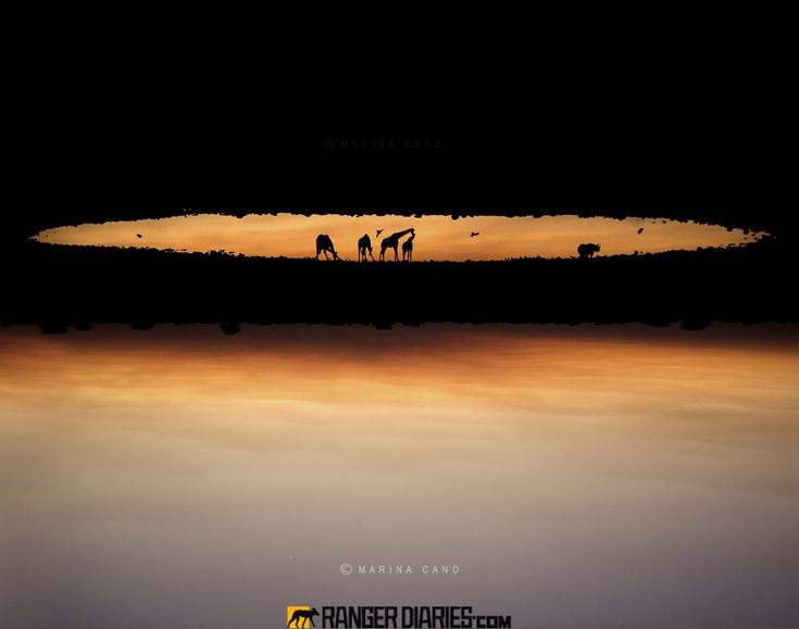 """Heaven on Earth, by Marina Cano. """"It was a beautiful evening at the Okaukuejo waterhole. Shortly after the sunset while birds were flitting to and fro a journey of giraffes walked slowly to drink alongside a black rhino .The atmosphere was magical and time froze. I flipped the image upside down to create this slice of Heaven on Earth."""" Photographed at Etosha, Namibia. (marinacano.com)"""