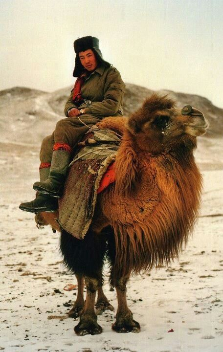 Mongolian camel | Llama/Camel/Alpaca | Pinterest | Posts ...