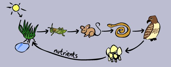Bigger Food Chains - Kid's Corner. this was a really simple and good page i found to explain the food chain to my 5 year old.