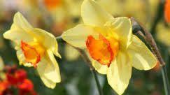 Resultado de imagen para narcisos flores
