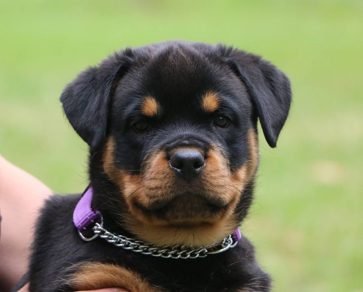 Image result for rottweiler 8 week old puppies ...